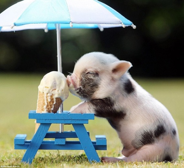 35-Cute-Miniature-Pig-Pictures-19